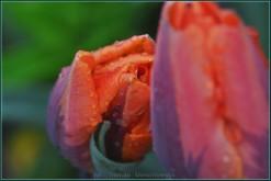 tulipany2015i8